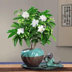 丁香花树苗花卉盆栽阳台好养室内花绿植室外四季开花不断易活植物