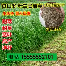 鱼草黑麦草四季牧草种子畜牧草子喂草鱼兔子牛羊吃的草种春天草籽