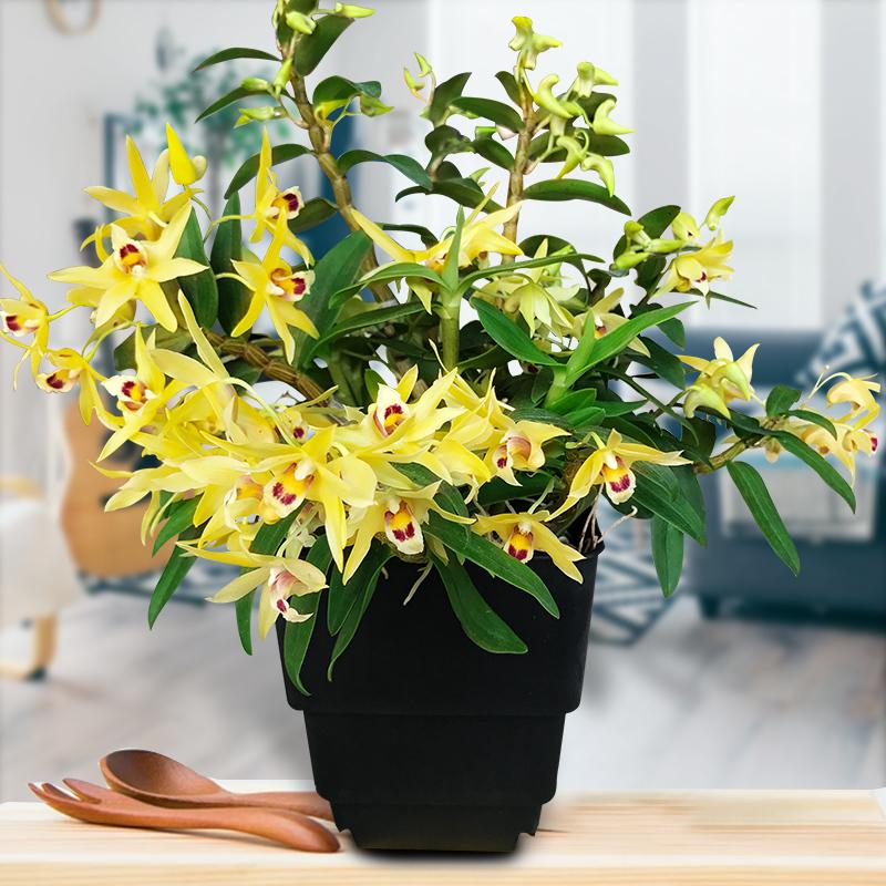 铁皮石斛苗霍山种源鲜条枫斗花卉盆栽吊兰花植物绿萝水培绿植