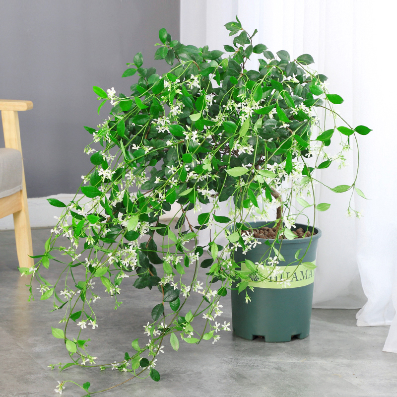 Windmill Jasmine climbing vine luoshiteng four seasons evergreen honeysuckle Jasmine seedling is cold resistant and fragrant, and is good for raising rich bamboo
