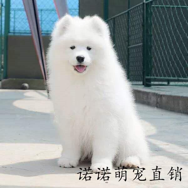 大型犬萨摩耶幼犬纯种活体金毛拉布拉多阿拉斯加博美宠物狗狗图片