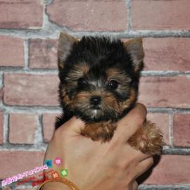 韩国引进金头黑背约克夏幼犬活体宠物狗3个月打完疫苗和驱虫y