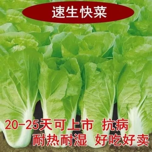 Fast vegetable seed organic Chinese cabbage seed sowing early in four seasons