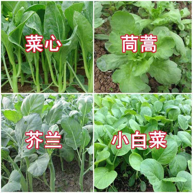 四季播種野菜の種コース【春菊と菜の花と若菜】テラス庭の種