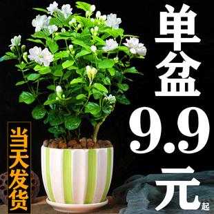 茉莉花盆栽花苗四季常青植物室内驱蚊观花卉盆栽开花不断种好发货