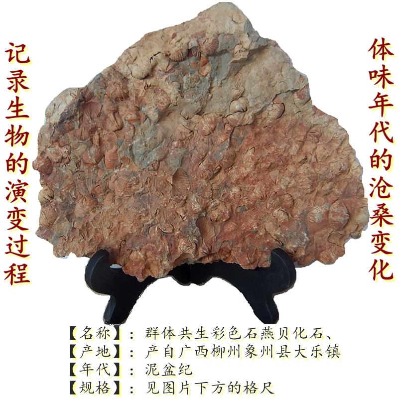 天然彩贝化石摆件石材动物怀旧群体共生板海洋古生物科普标本9999 Изображение 1