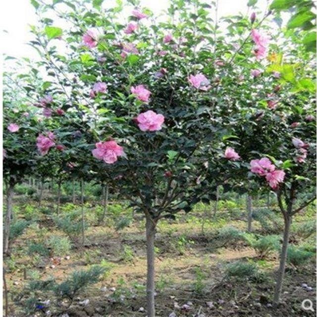 ムグンゲの苗木は重弁で紅花木槿の苗木を食べられます。