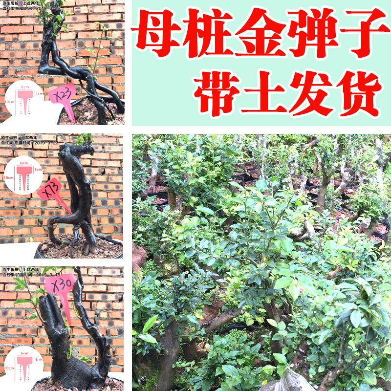 12月07日最新优惠金弹子盆景 母桩 瓶兰花黑塔子 金单子成品  金蛋子树桩树苗包邮