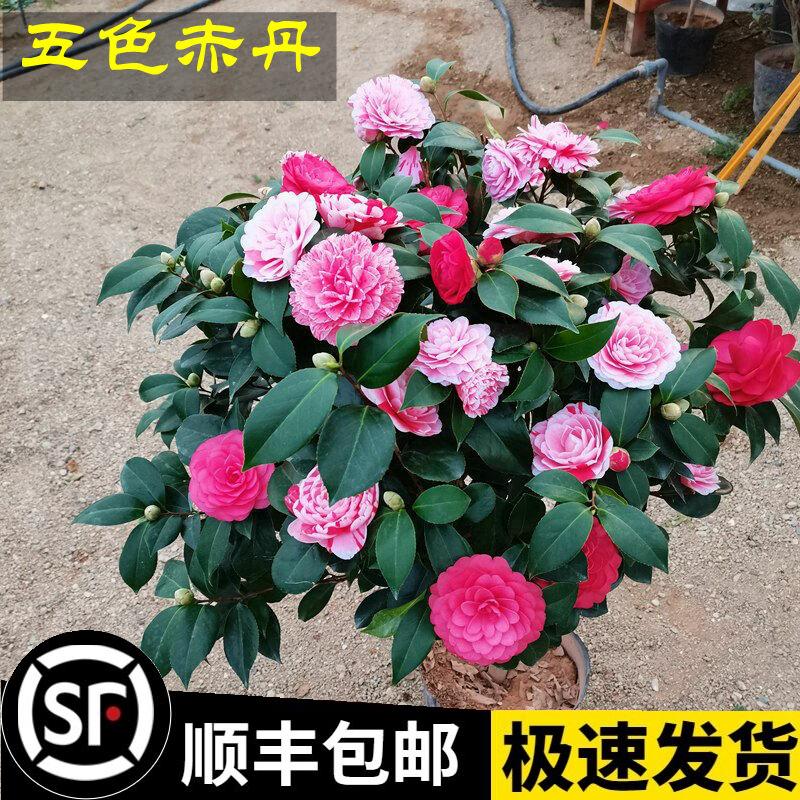 五色の赤丹山の椿の鉢植えの苗木の1木は多くの色の四季の花卉の鉢植えの植物の室内をつけて客間を養うことができます。