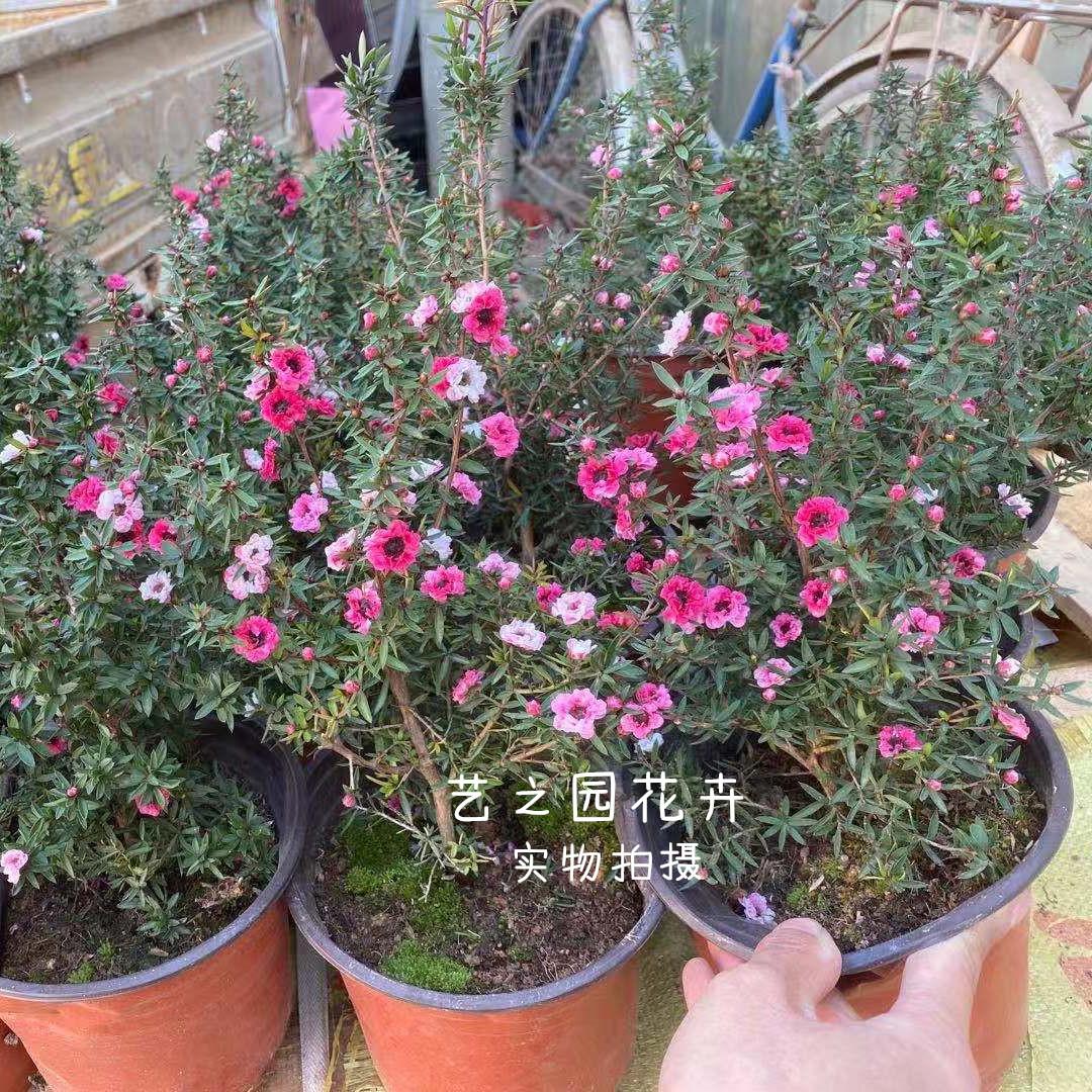 重瓣松红梅盆栽带花苗澳洲梅花腊梅三色四季盆栽耐寒植物室内好养