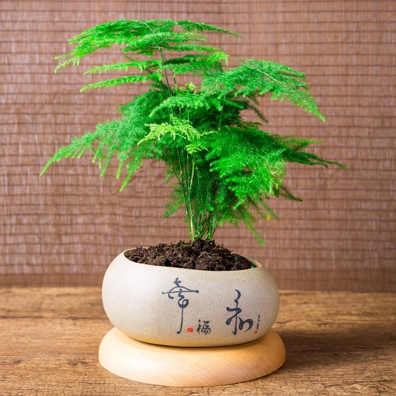 文竹盆栽植物室内办公室绿植苗盆景唐山矮生云竹中国风花盆小盆栽