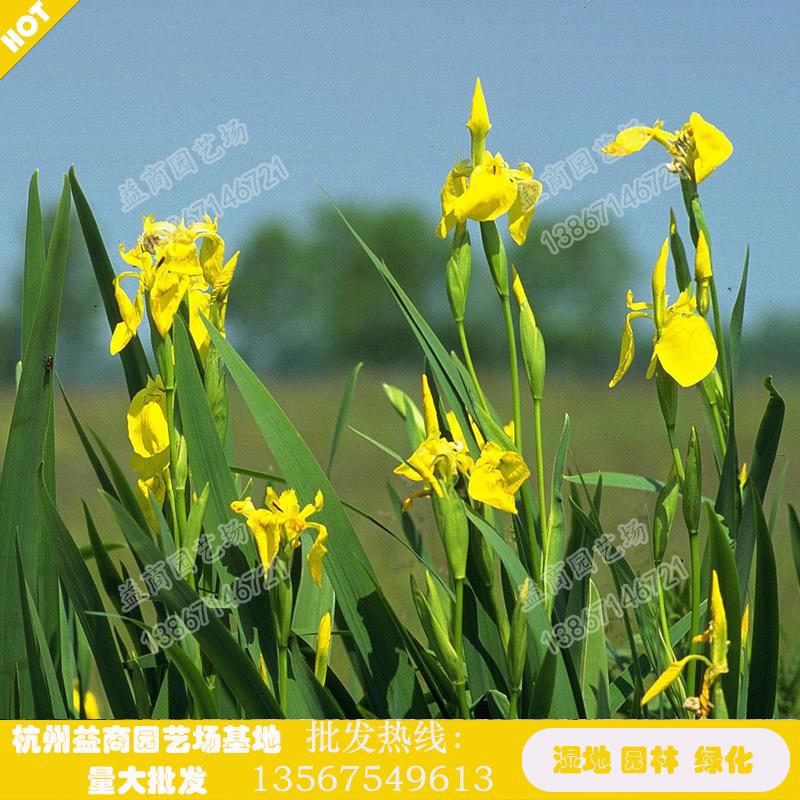 Acorus tatarinowii, iris flaviflora, green plants and seedlings