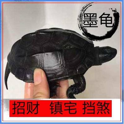 忍着乌龟一对公母石金钱乌龟活物七彩小神龟黄头侧颈稀有招财长寿
