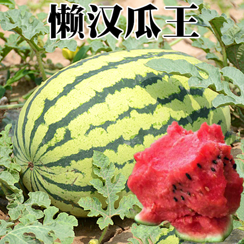 Watermelon seed relict giant lazy melon king Qilin sweet King Four Seasons fruit early maturing crisp sweet juicy big watermelon seed