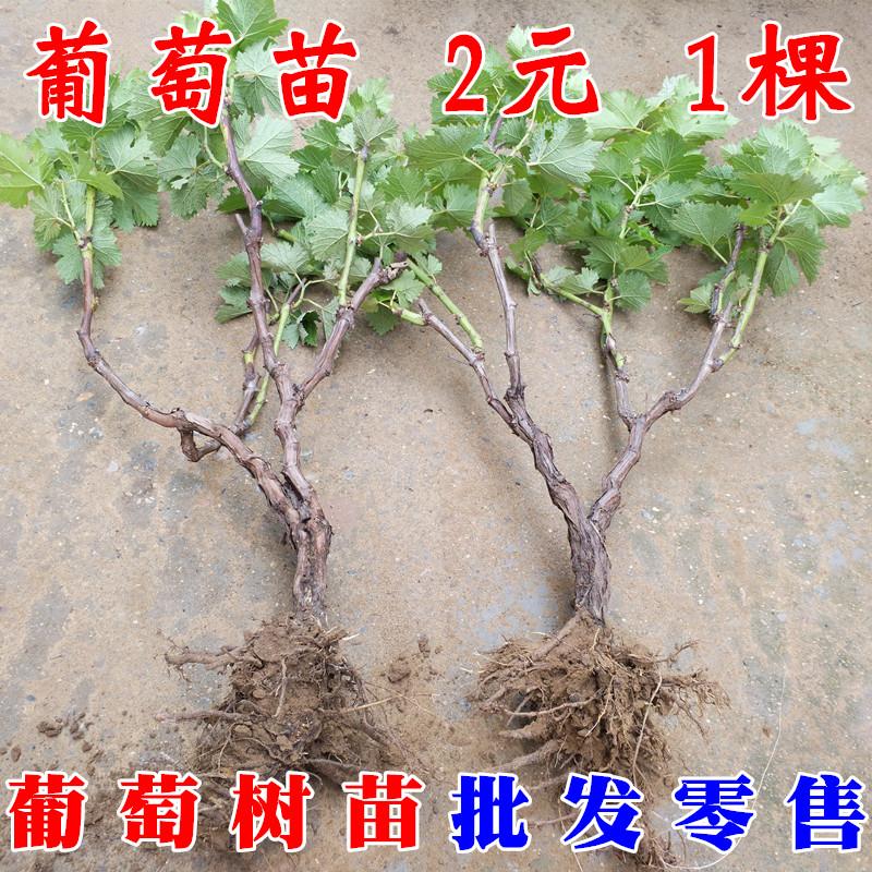 卓球のブドウの苗の苗木は苗を接ぎ木しないで、その年の結果、ブドウの木の田植えは南方で行われます。