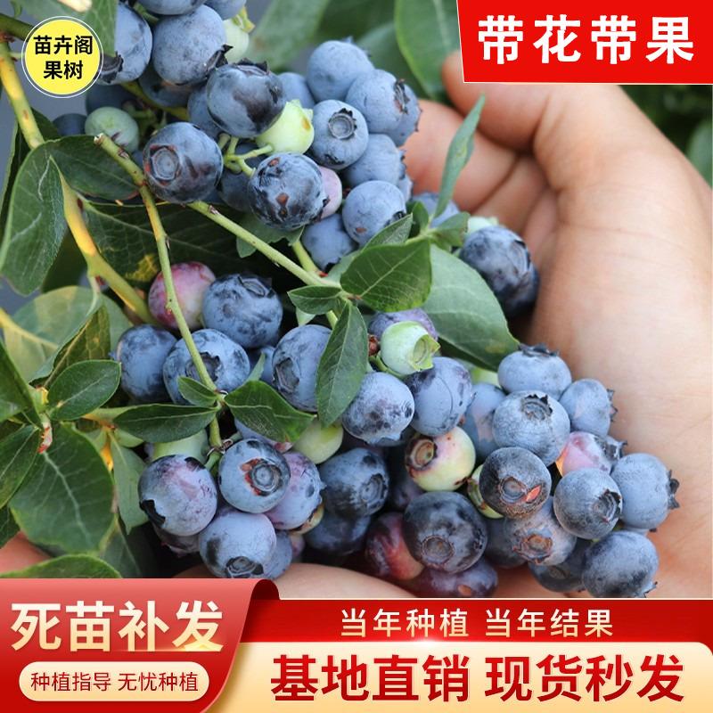 (过期)苗卉阁果树基地 蓝莓盆栽南方北方种植当年结果果苗 券后7.1元包邮