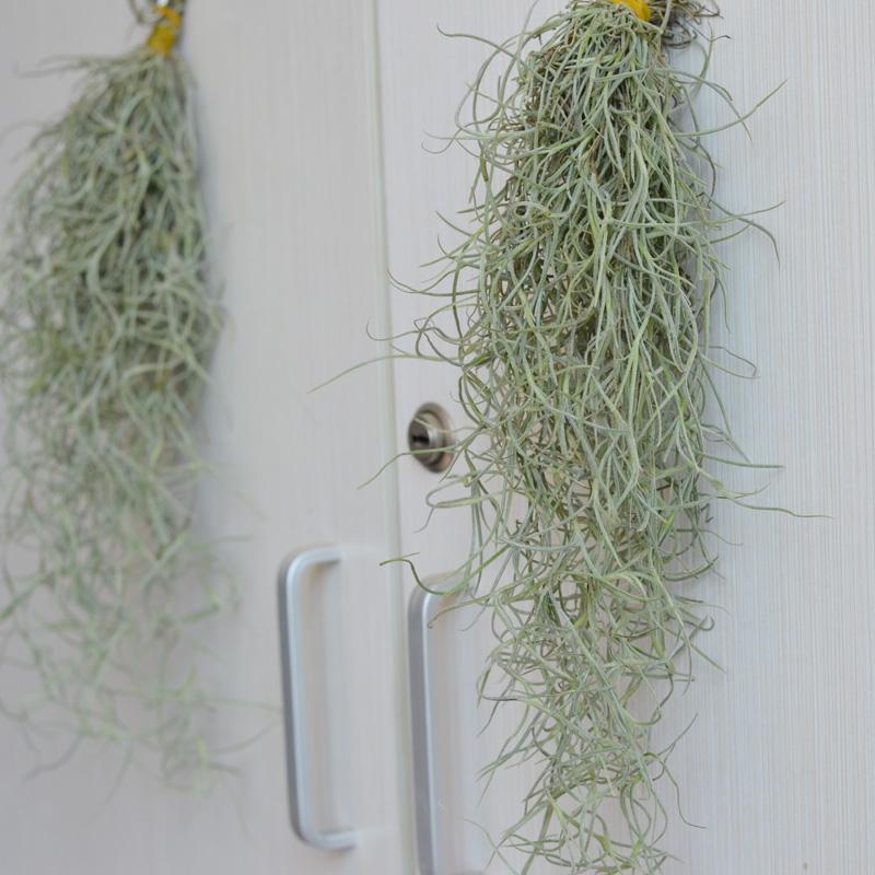 无土栽培空气凤梨老人须松萝吊挂植物 室内垂吊植物净-休宁松萝(花怡坊轩之阁专卖店仅售12.42元)
