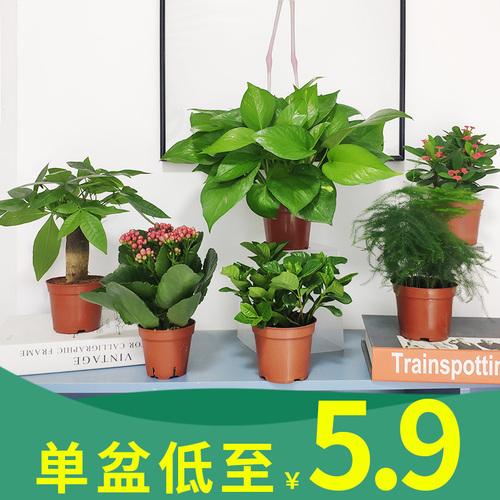 绿植花卉绿萝富贵竹栀子花发财树文竹常春藤室内土培植物盆栽好养