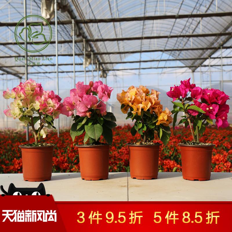 三角梅盆栽花卉植物室内阳台庭院爬藤四季开花不断盆景带花发货苗