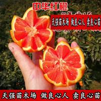 中华红橙血橙苗 红肉脐橙果树苗 甜橙冰糖蜜橙子树 当年结果包邮