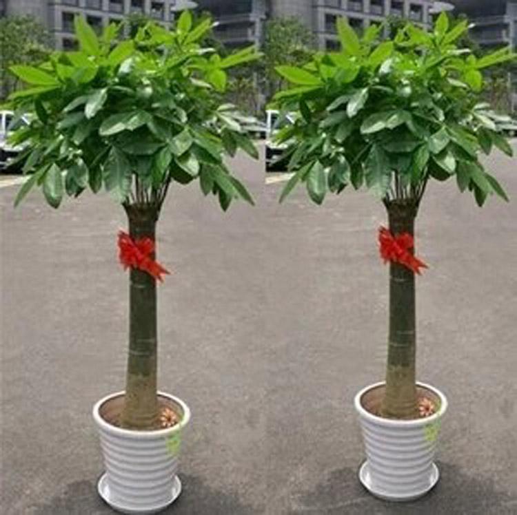 湖北鄂州同城免费送货开业发财树大盆栽专人专车代送代购室内绿植