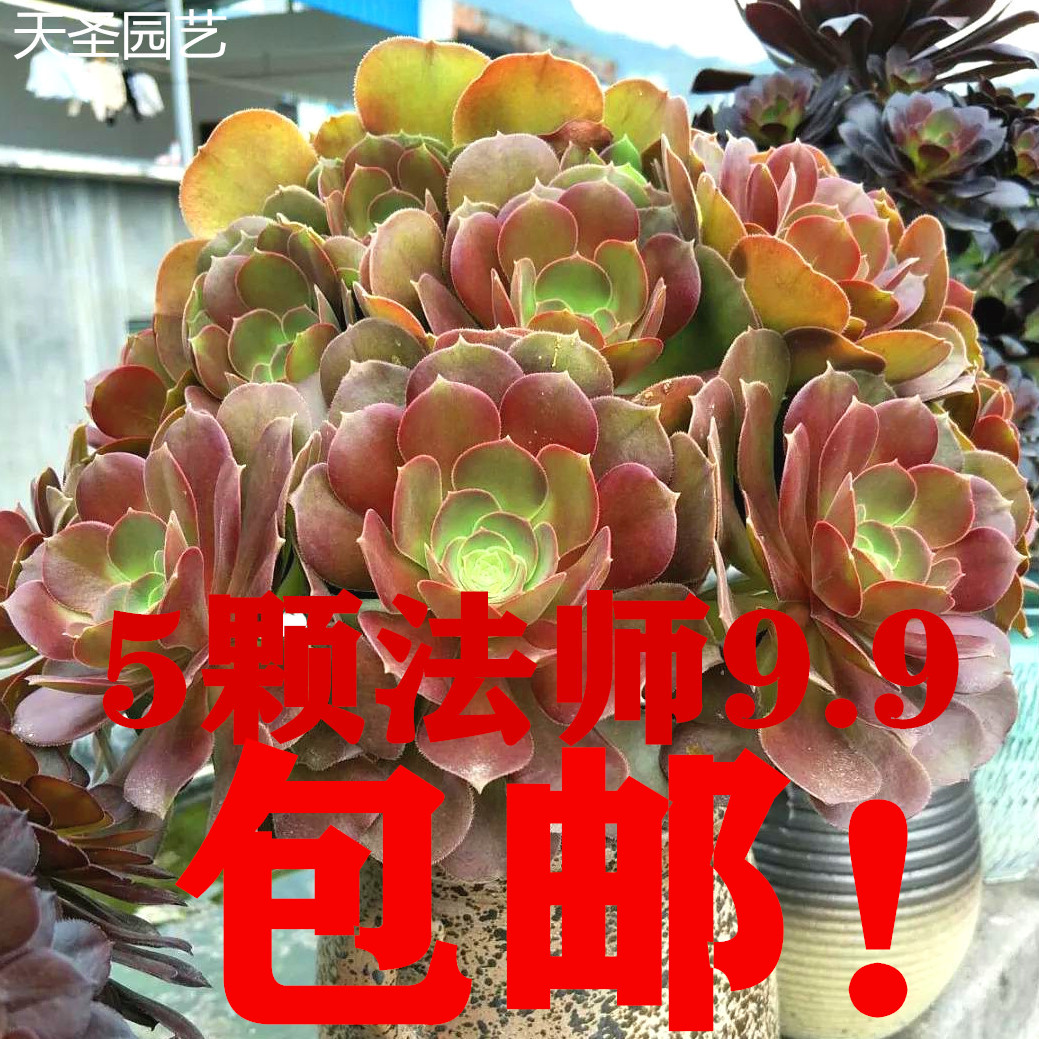 7.80元包邮韶羞法师老桩多肉植物荷兰玫瑰花卉