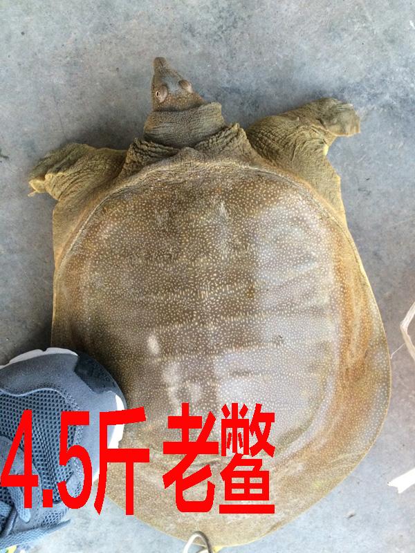 4.5斤 5年老鳖 大甲鱼活体免邮送礼外塘生态放养中华鳖王八水鱼