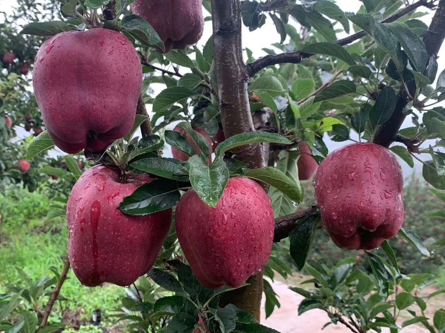 Tianshui Huaniu Apple Qinan Red Fuji yellow Marshal little black brother