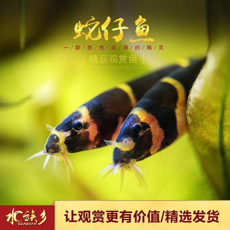 [水族乡]蛇仔鱼 热带鱼缸清除食物残渣苦力泥鳅宠物活体涡虫杀手热销155件需要用券