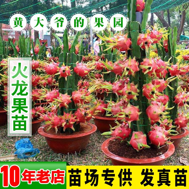 火龙果苗 盆栽 红肉 台湾特大嫁接黄皮燕窝果苗 金都一号火龙果苗