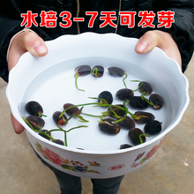 Water culture plants with seeds of the opened water lilies, flowers on the balcony, water culture plants, green plants, sleeping lotus, potted plants with flowers all the year round
