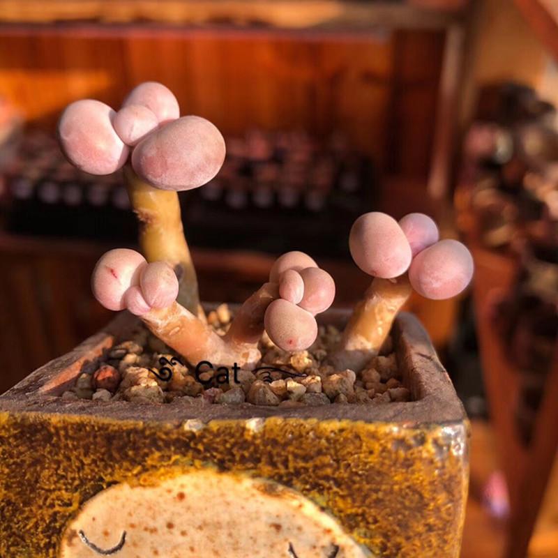 多肉植物丸叶桃蛋亚美蛋命运双头蛋11月21日最新优惠