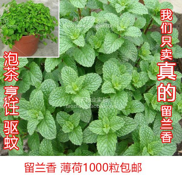 香草柠檬薄荷胡椒食用盆栽蔬果花种