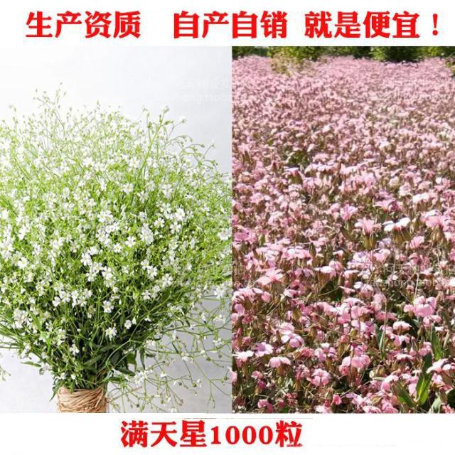 中国满天星白色粉色 满天星种子波斯菊太阳花死不了康乃馨花种子
