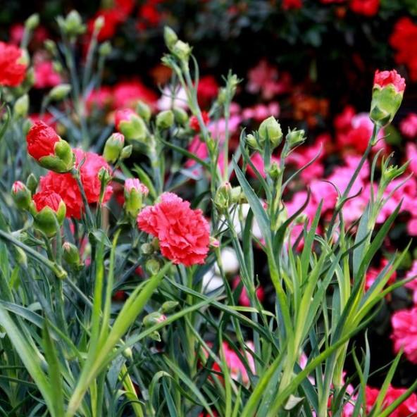 康乃馨种子 波斯菊种子薄荷种子蔬菜种子含羞草四季开花淡淡幽香