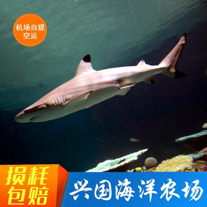 黑鳍鲨白鳍鲨柠檬鲨观赏鱼真海水鱼