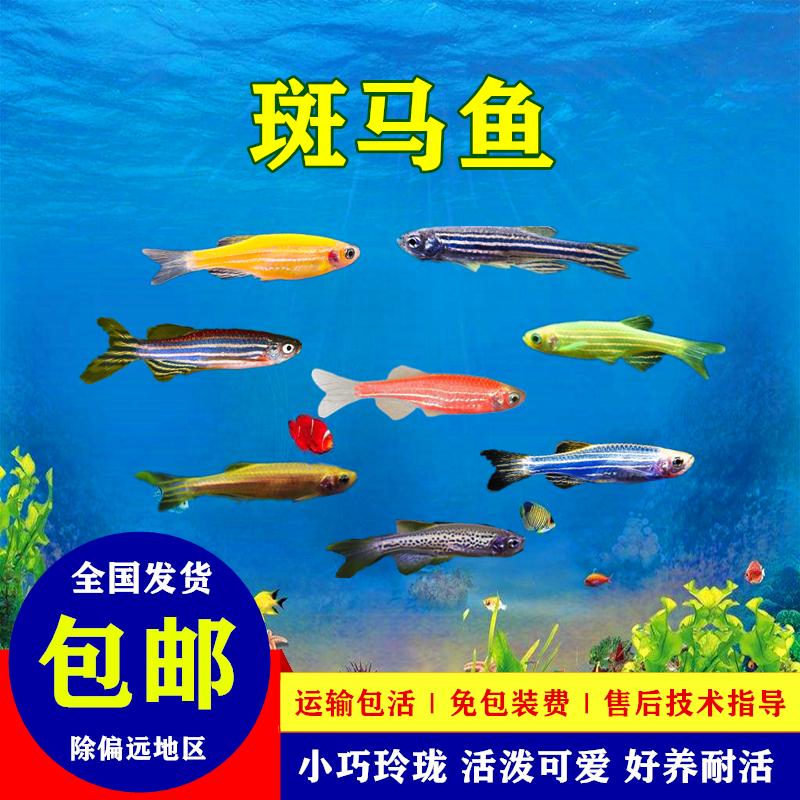 斑马鱼活体小型好养耐活鱼淡水练手鱼下崽狂魔鱼冷水小鱼活观赏鱼