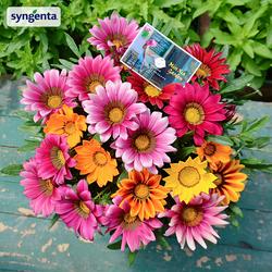 荷兰Syngenta*笑吻勋章菊 进口花种子大花重瓣四季种开花室内易活