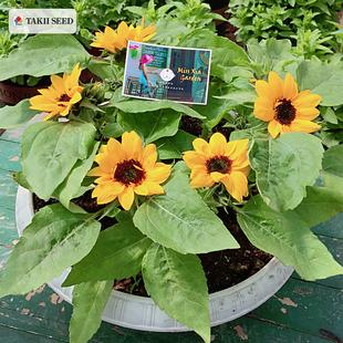 日本Takii*微笑向日葵 矮生矮杆进口花种子 夏播秋播易活易种盆栽