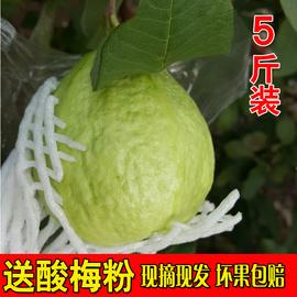 农家果园现摘现发台湾珍珠芭乐白心番石榴特产5斤装孕妇新鲜水果