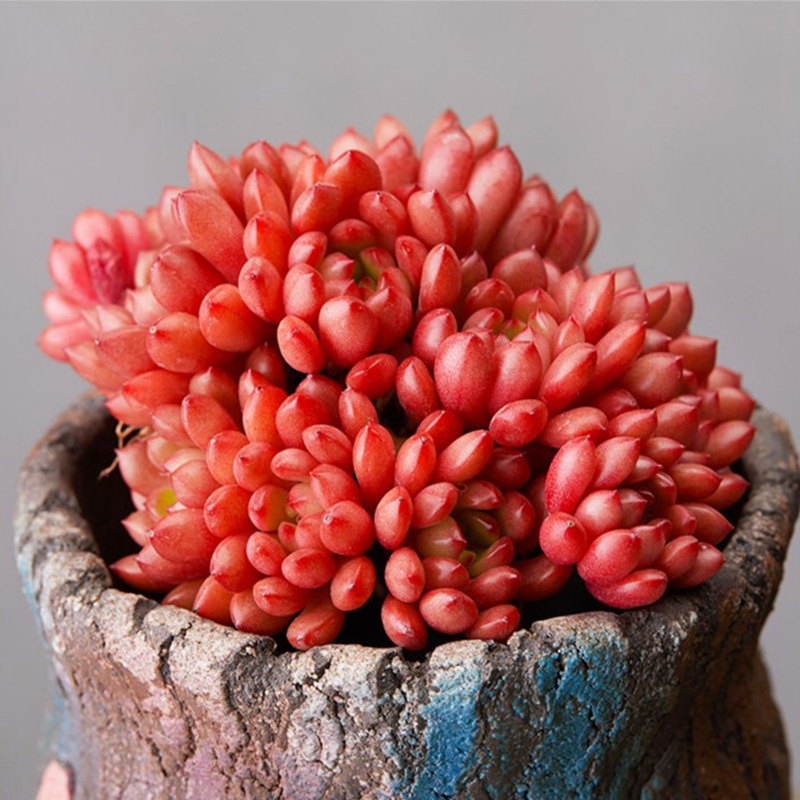 Ruby group succulent plant multi head big red indoor table top potted mini flower tabletop bonsai