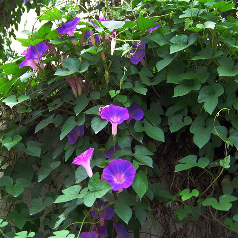 进口重瓣垂吊矮牵牛花种子 四季种易 活开花不断混色牵牛花花籽