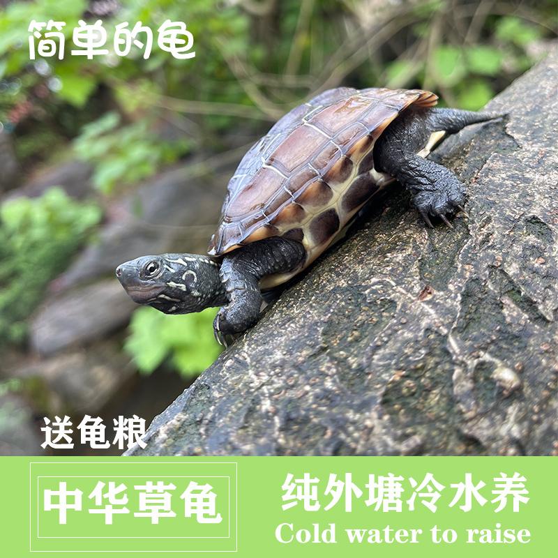 外塘小乌龟活物中华草龟苗金线宠物墨龟活体长寿幼龟放生浅冷水龟