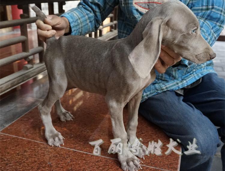 Short hair Weimar dog Weimar hound pup purebred pet dog baby hunting dog
