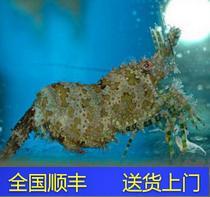 Ложный чистая овечья креветка кроме водоросль морская вода рыба коралловый живая корпус уродливая рыба врач креветка еда водоросль винт ложный хлопок солнце креветка