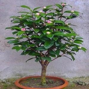 五色赤丹茶花苗四季十八学士茶花树带花苞山茶花名贵花卉盆栽