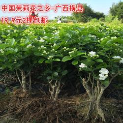横县重瓣茉莉花苗白茉莉盆栽盆景四季绿植花卉老桩树桩根植物室内