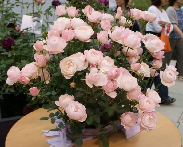 【可乐的花园】草莓杏仁饼(Rosa chinensis Jacq)灌木月季