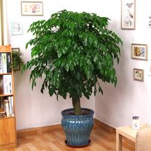 大幸福树平安树大客厅办公室绿植盆栽绿宝室内小盆栽大型盆栽