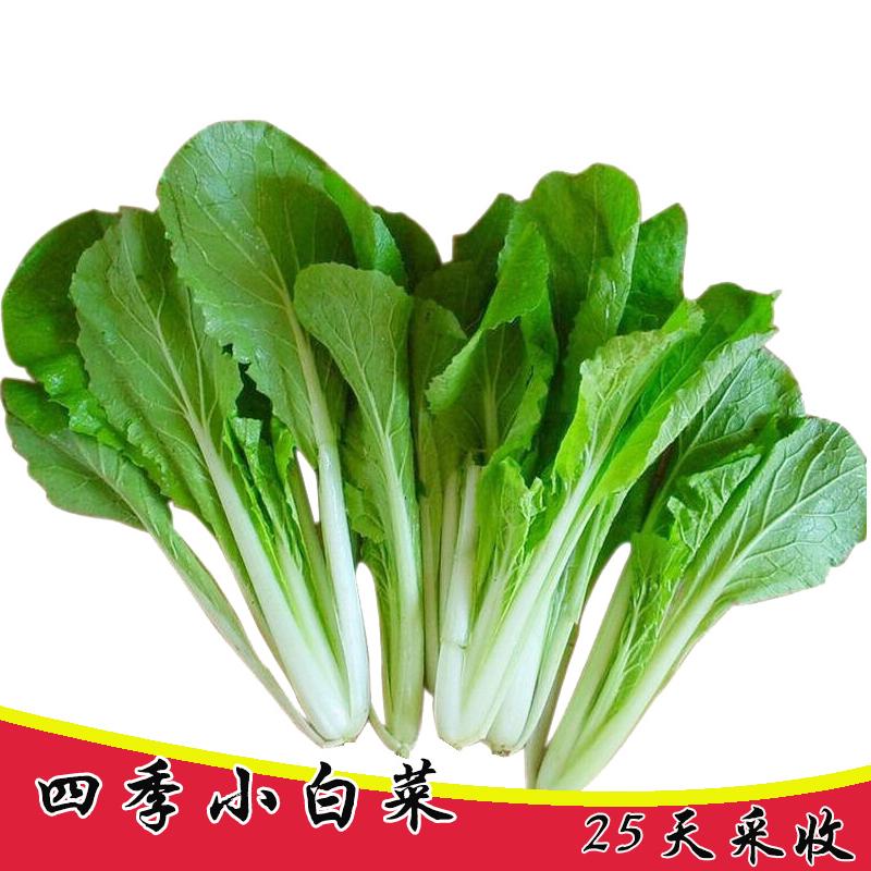 农家速生小青菜小白菜种子春秋季四季阳台菜园盆栽蔬菜籽易种植物